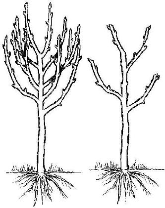hollybrook orchard apricot pruning diagram