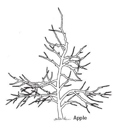Hollybrook Orchard Apple Pruning Diagram